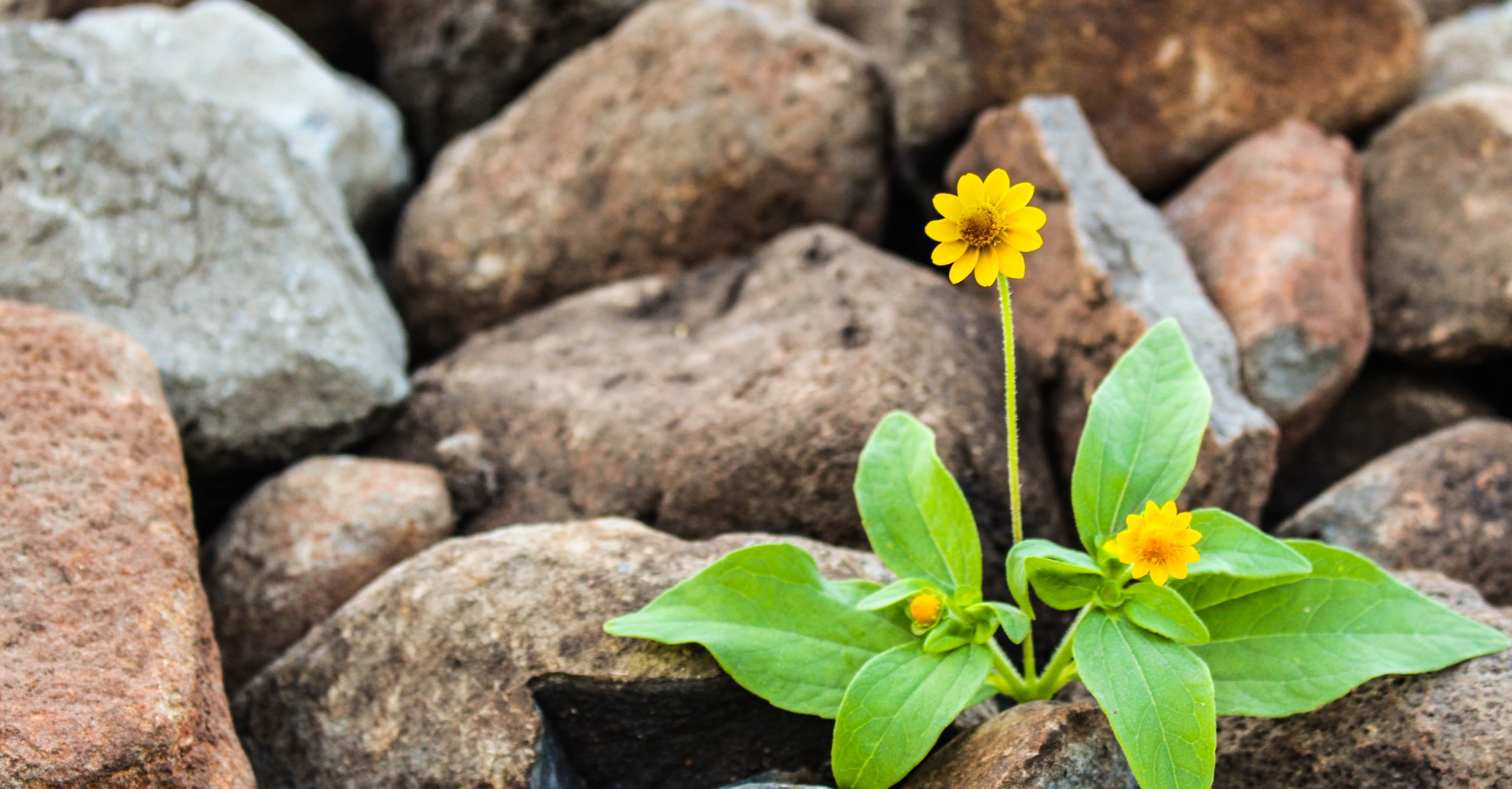 A single yellow flower with green leaves growing in a field of rocks